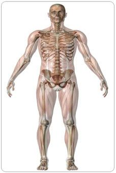the website talks about what the skeletal system is and shows the, Muscles