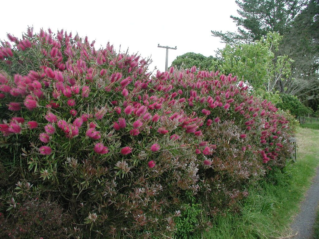 Bottlebrush pruning info learn how and when to prune for Outdoor bushes and plants