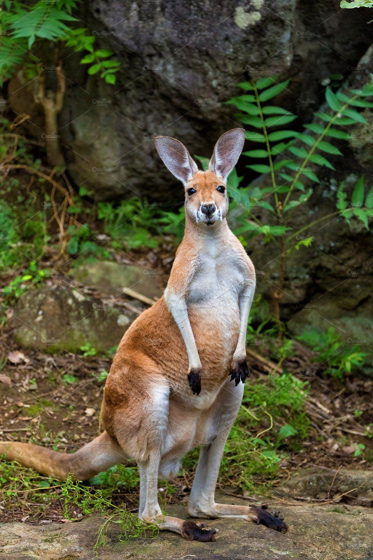 Red Kangaroo In 2020 Red Kangaroo Australian Native Animals Australia Animals