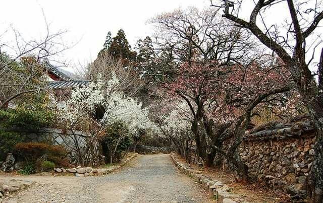 Plum path in Seonam-temple  선암사 매화길