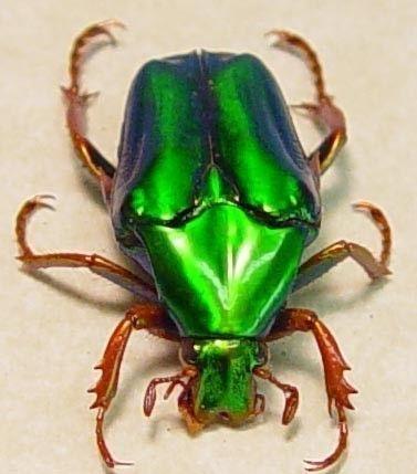 Real Green Jewel Beetle Chalcothea resplendens 2289 ...