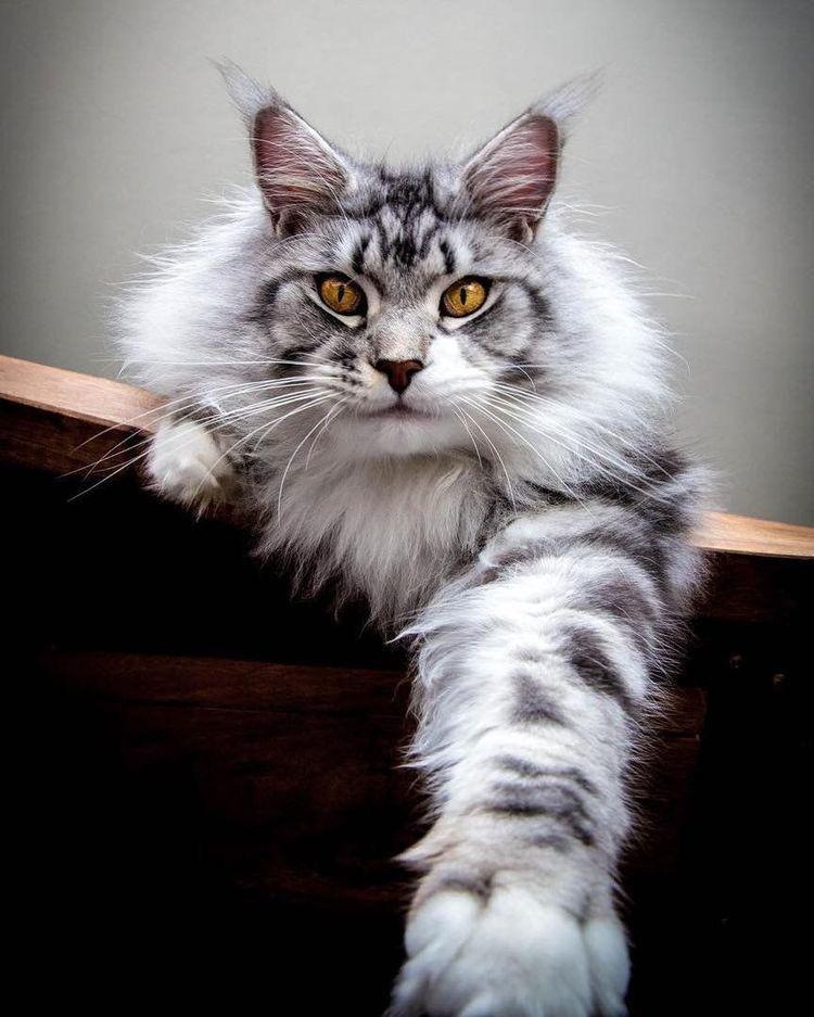 Epingle Sur Maine Coon Kitties