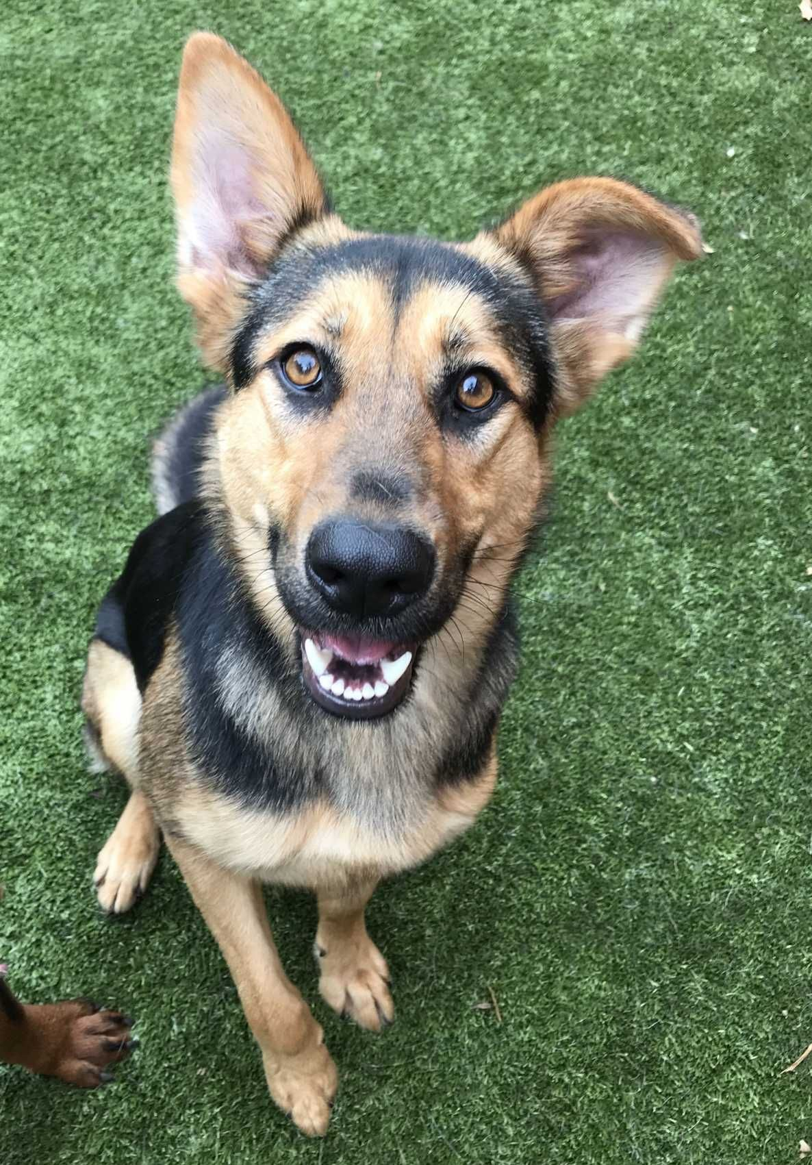 Adrian Is An Adoptable German Shepherd Dog Searching For A Forever