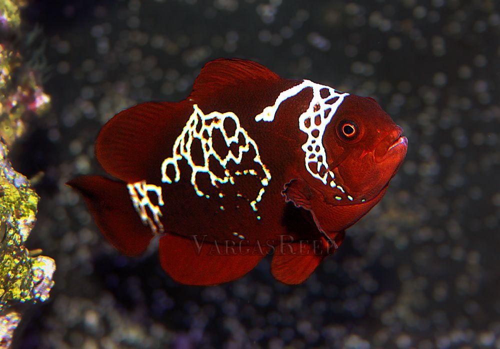 Img 3804 A Wm Jpg 1000 698 Clown Fish Fish Pet Saltwater Aquarium
