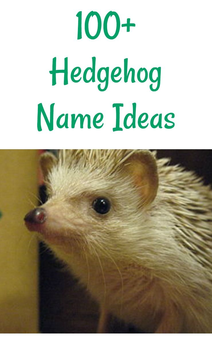 Pet Hedgehog Name Ideas For Hedgies That Are Boys Or Girls Hedgehog Names Cute Pet Names Hedgehog Pet