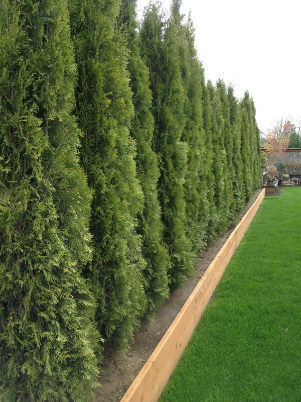Privacy Screens Thuja Arborvitae In Raised Bed Adds Additional 12 And Is Helpful In Alleviating Soi Lawn And Landscape Planting Arborvitae Backyard Drainage
