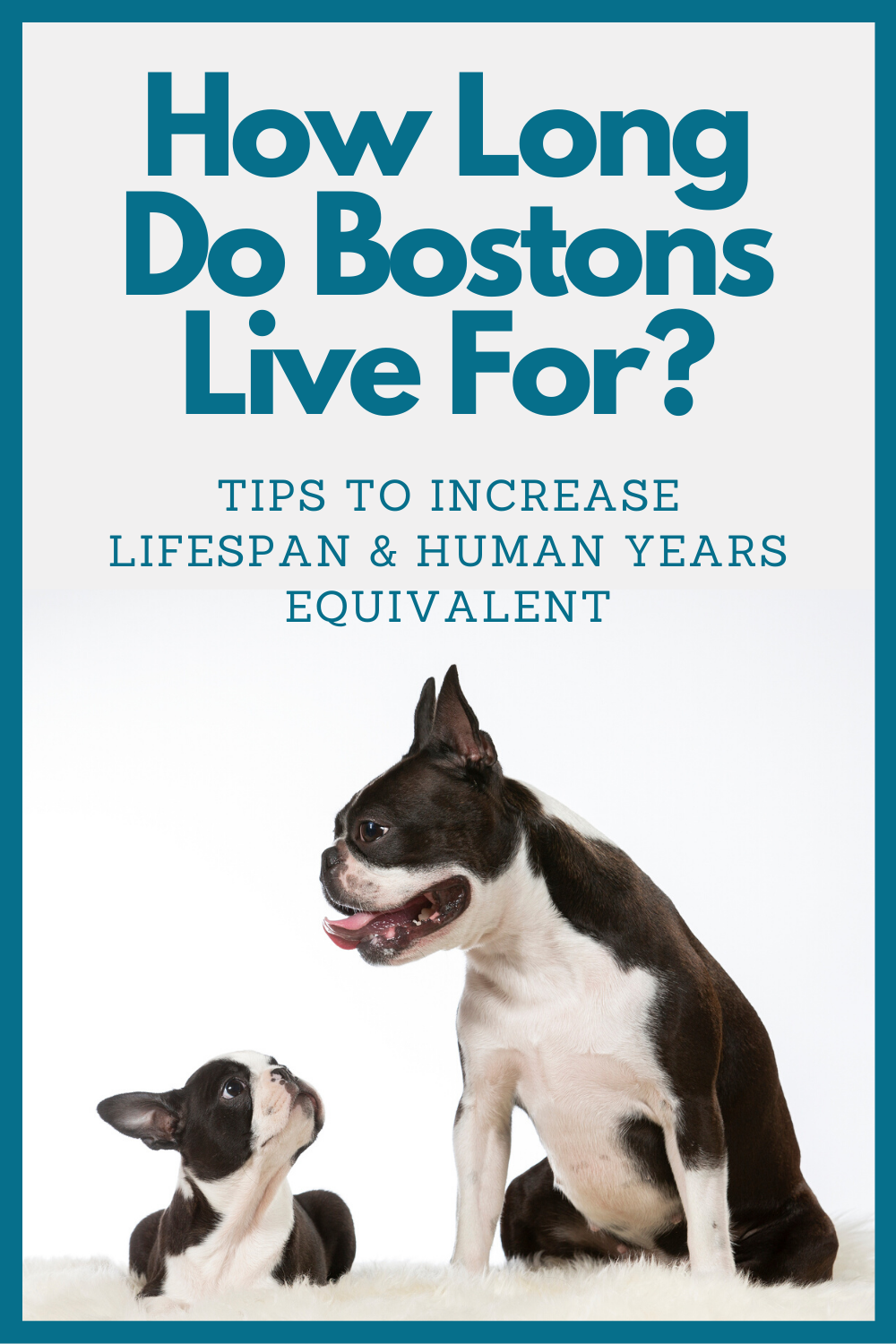 How Old Is Your Boston Terrier In Human Years Vitality Tips More In 2020 Terrier Boston Terrier Beautiful Dogs