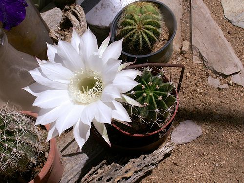 Lovely cactus bloom