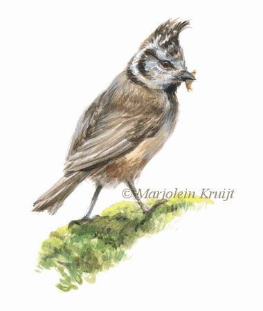 Crested tit in acrylics (for sale) by Marjolein Kruijt | 'Kuifmees' illustratie in acryl, 9x10 cm, (te koop) #birdart #birdillustration #crestedtit #kuifmees #illustratie #acryl #acrylics