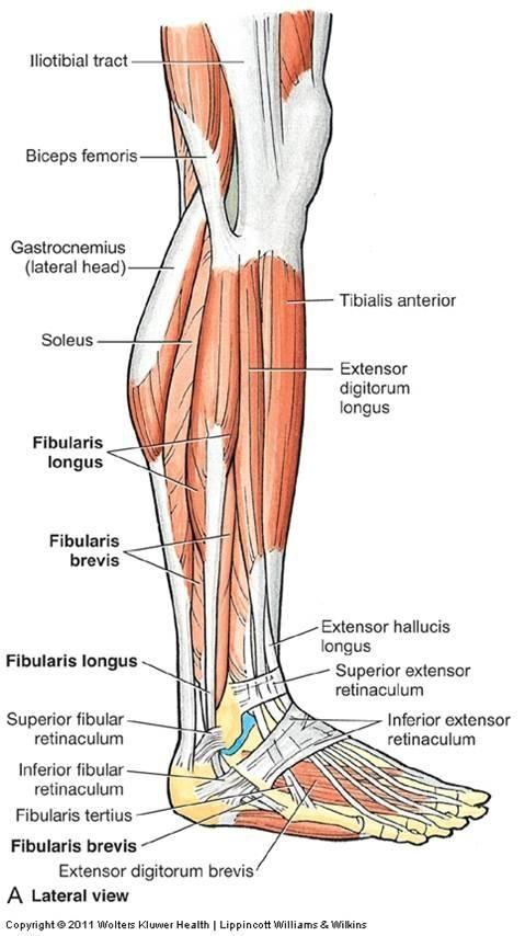 Lateral Leg Muscles Flashcards Anatomy 11 Legankle Joint