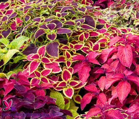Srilanka Coleus Plant Landscaping Sri Lanka Landscape Plants Shade Plants Psychoactive Plants