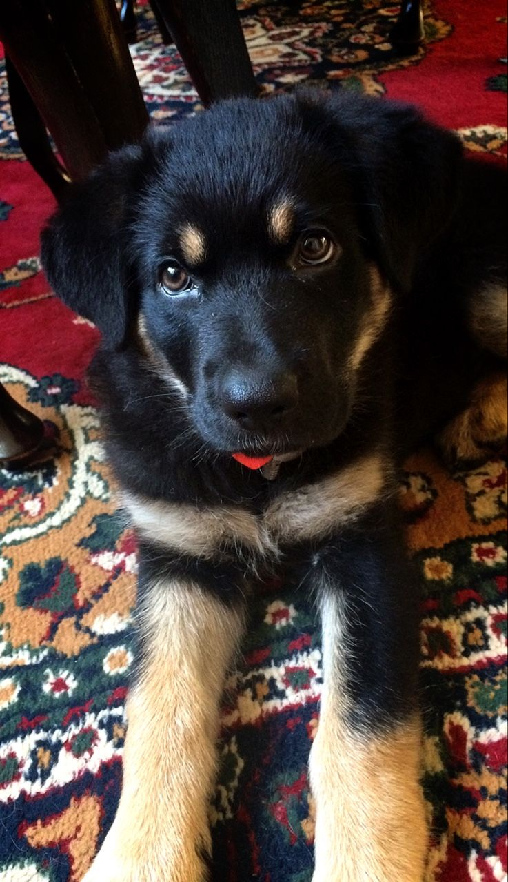 Handsomedogs This Is My German Shepherd Mix Puppy Foniks At 10 Weeks She S An Absolute Darling German Shepherd Mix Puppies Beautiful Dogs Puppies
