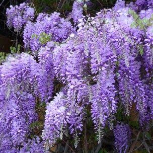 Glycine de chine bleue wisteria sinensis graines - Graine de glycine ...