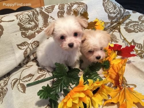 Scooter Budd Male Malchi For Sale In Watertown Ny 4046392852