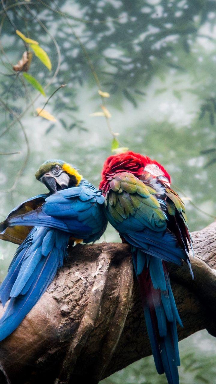 720x1280 Colorful, parrots, pair, couple wallpaper