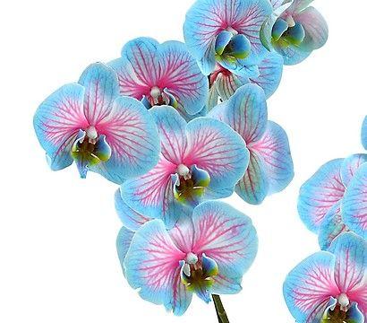 Phalaenopsis 'Blue Wonder', 2-Trieber | Orquídeas ...