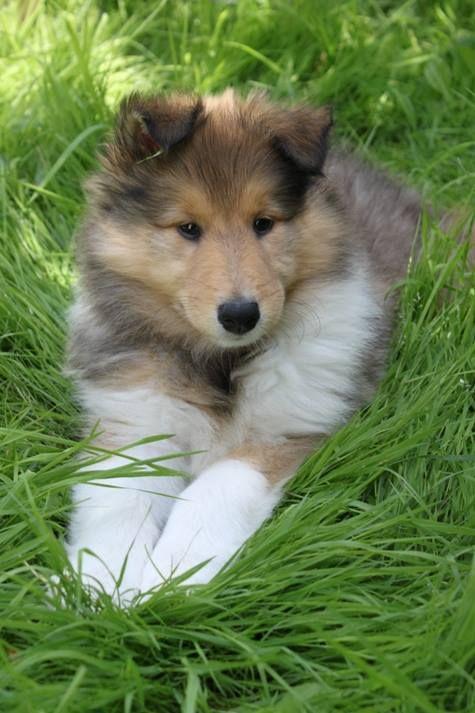Rosie Rough Collie Puppy
