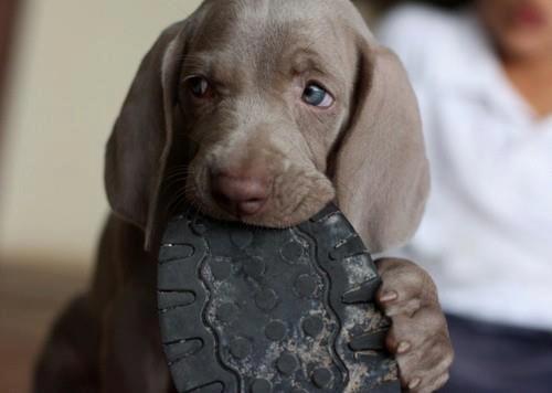 Resultado de imagen para weimaraner eat shoes