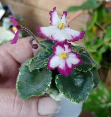 Details about African Violet Plant -- LE-Sonia---