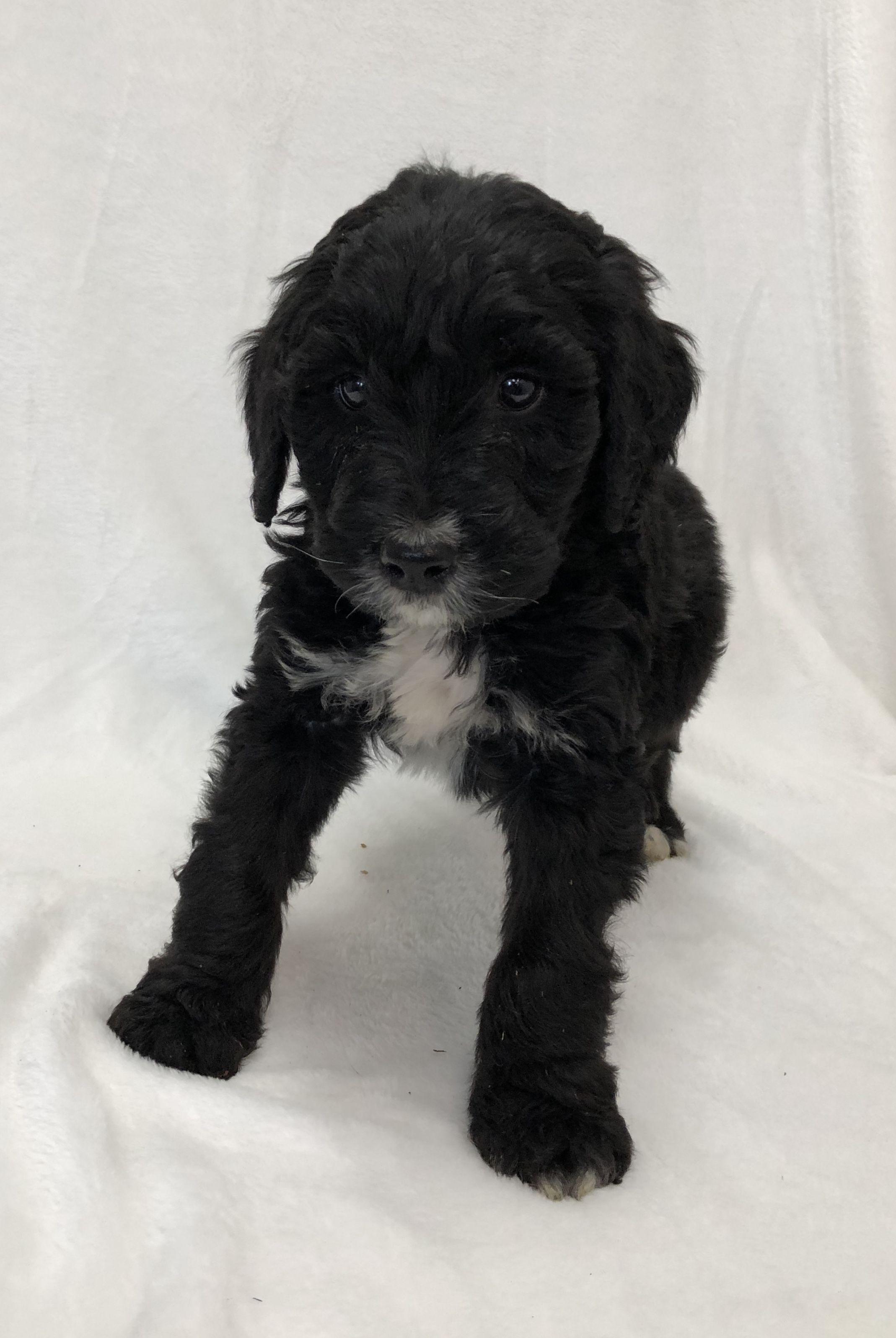 Max French Bulldog pups for sale near Brooklyn, New York
