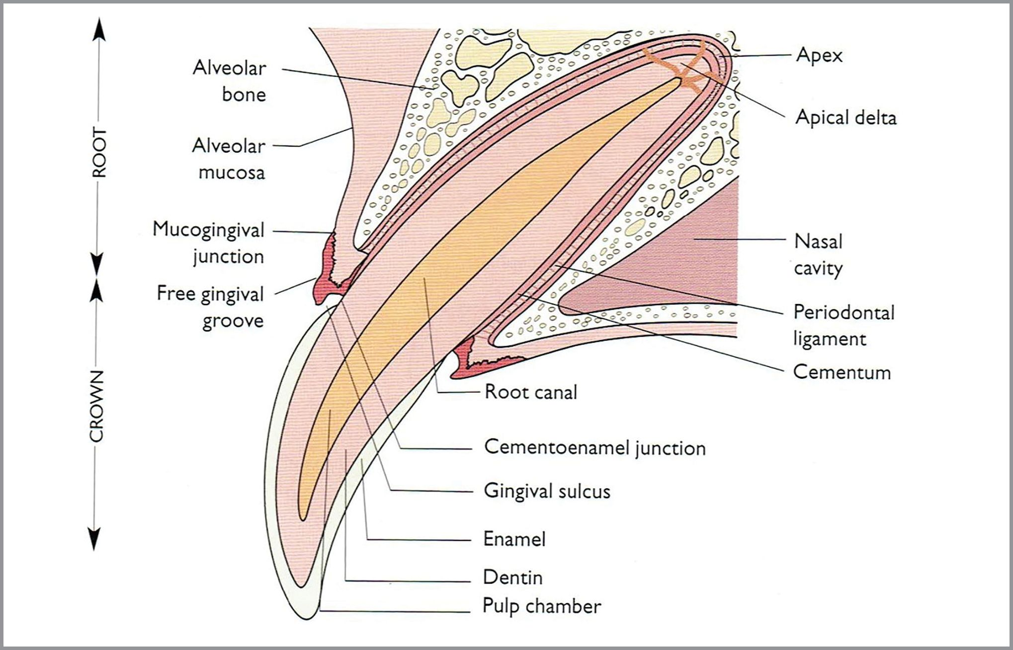 Anatomy of human tooth