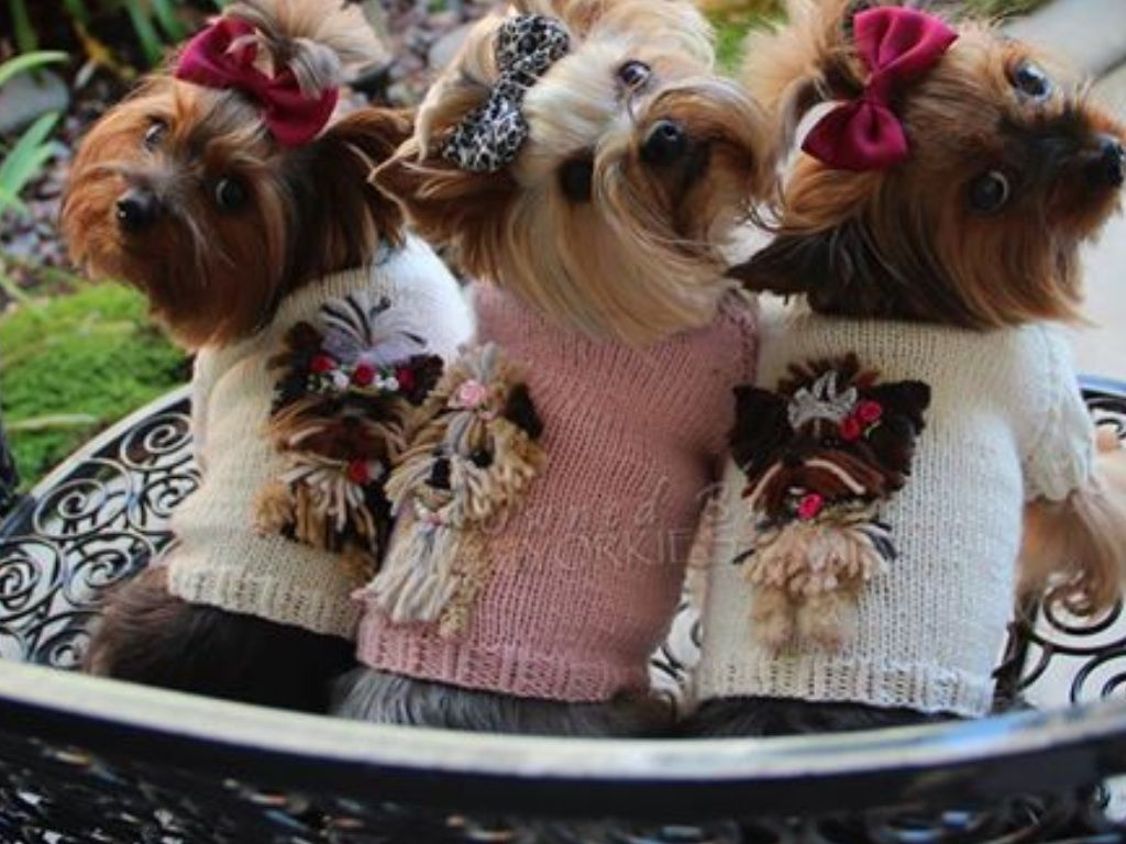 Owned by Yorkies in Chiwowow custom sweaters