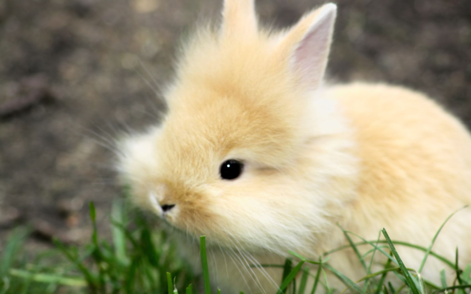 Rabbit Hd Wallpapers Backgrounds Wallpaper Cute Bunny Pictures