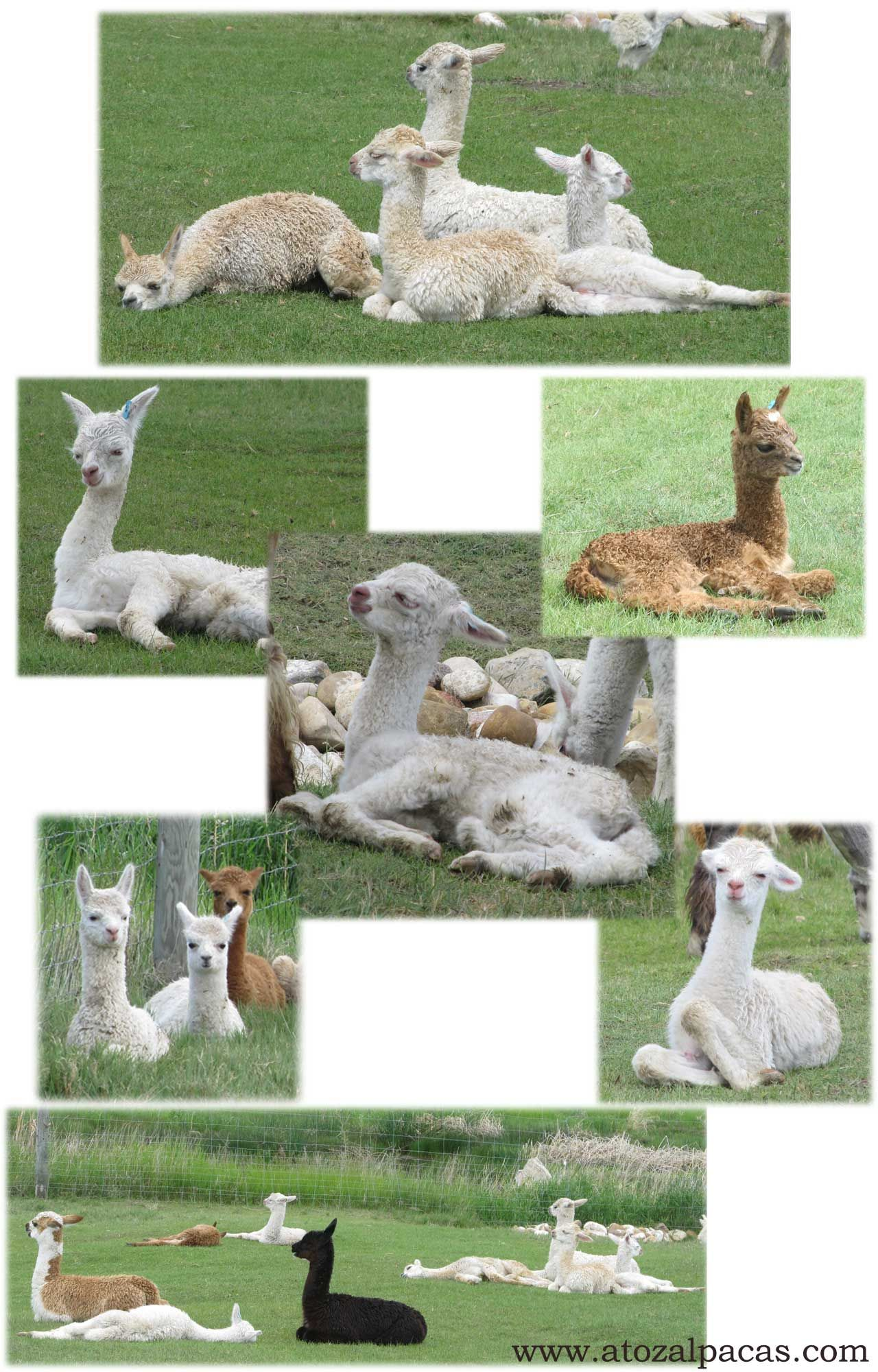 Baby Alpacas snoozing in the sun after a long run in the