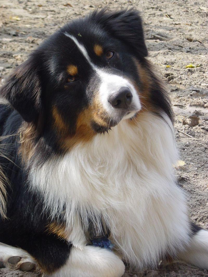 Australian Shepherd Zucht Rosebud Of Crana Kompetenter Zuchter Von Aussies Und Mini Aussies Nachzucht Aussie Puppies Aussie Dogs Australian Shepherd Dogs