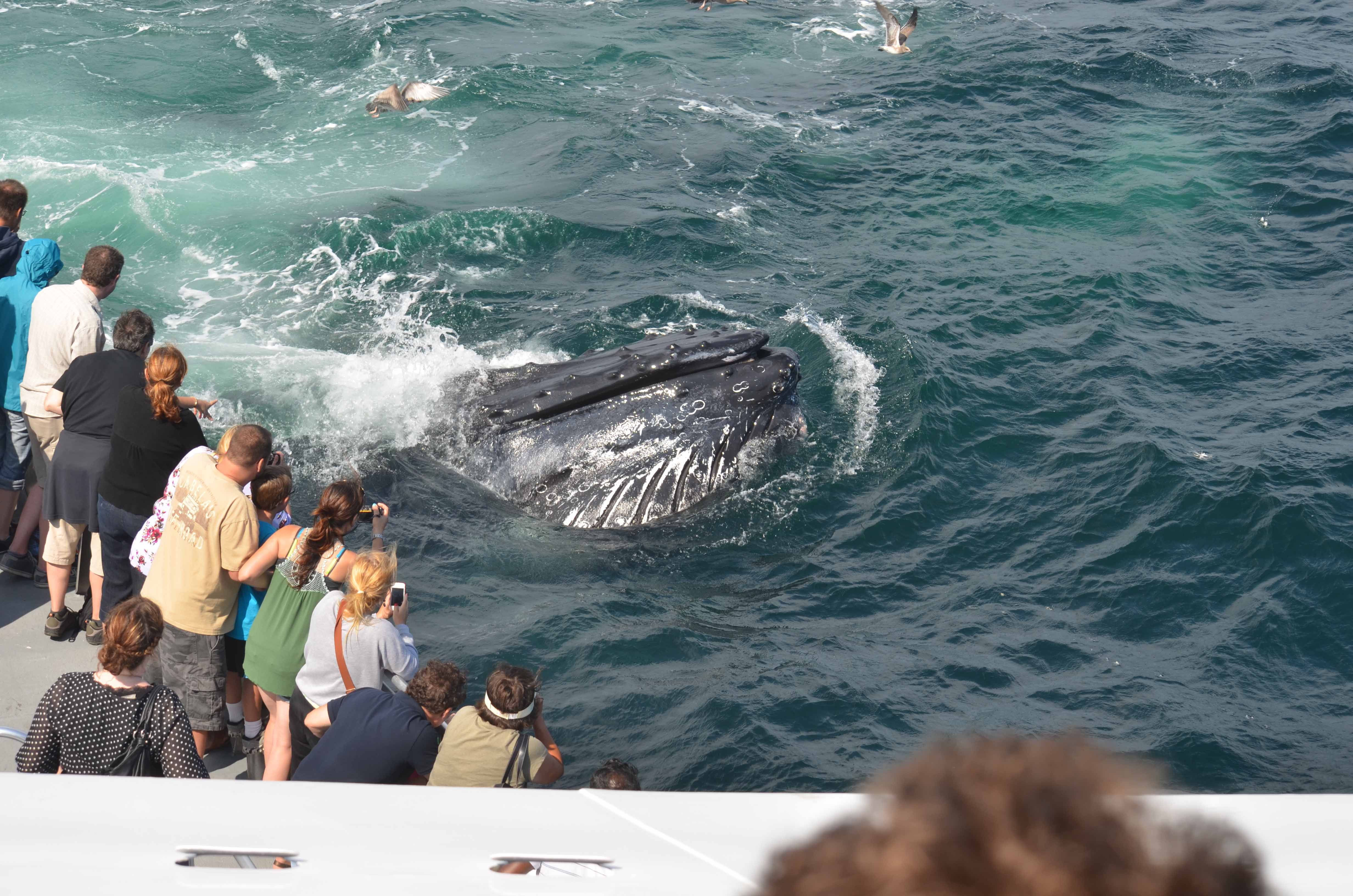 Boston Harbor Cruises Whale Watch Is Still Going Strong Dont - Cruises out of boston