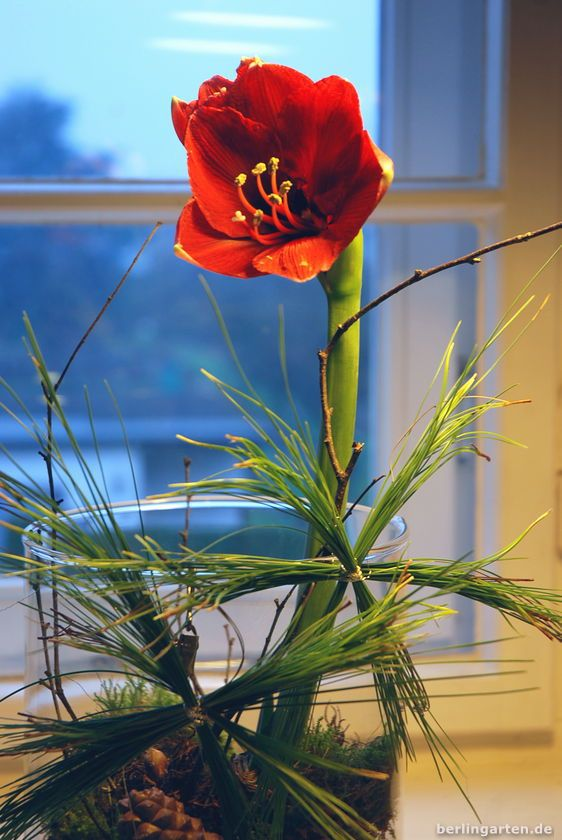 Amaryllis im Advents-Styling mit Piniennadel-Sternen, Moos und Zapfen  - du wirst es lieben! Schnelle Deko im Advent oder zu Weihnachten. DIY #amaryllisdeko