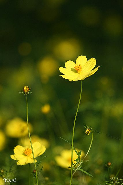 Lemon yellow cosmos cosmos flowers and yellow flowers yellow cosmos mightylinksfo