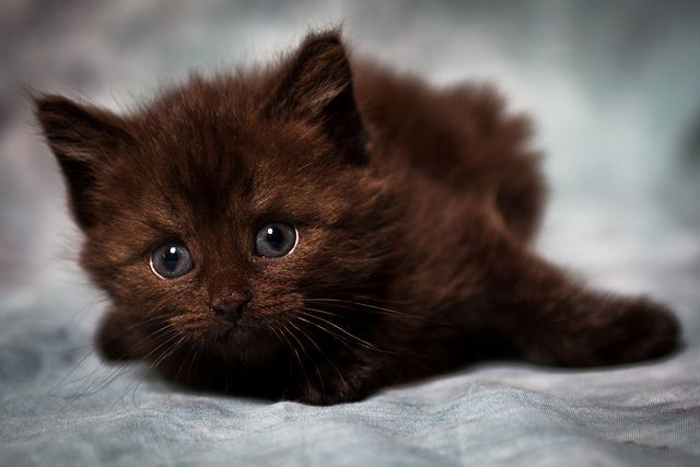 Beautiful brown kitten better known as Fudge (by