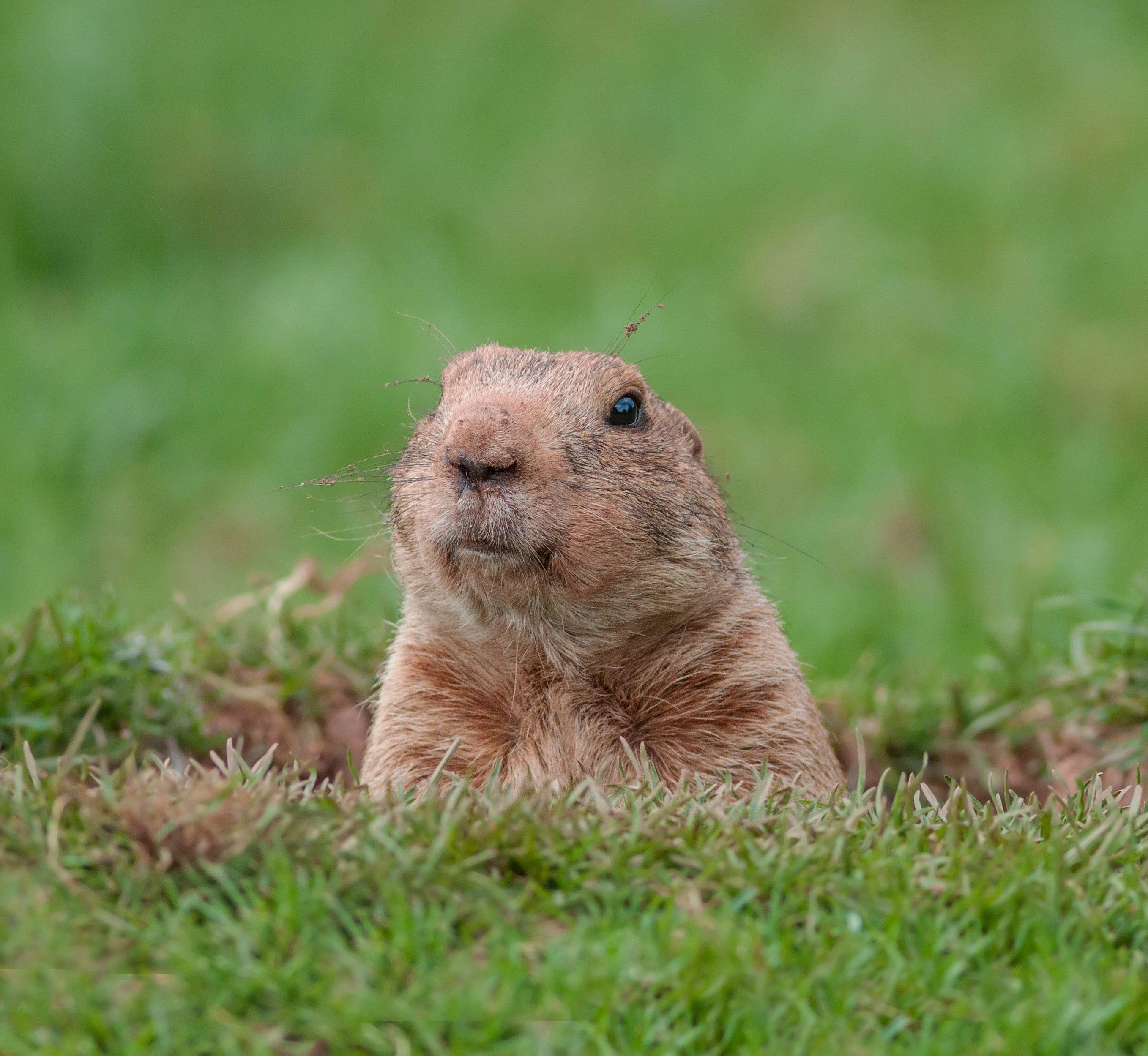 how to get rid of ground squirrels humanely
