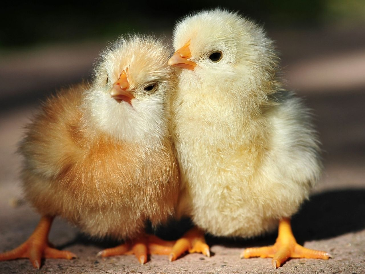 Save the Baby Chickens!   Baby chickens, Animal and Baby animals