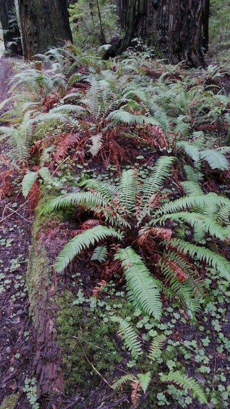 Humboldt redwoods Redwood
