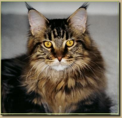 another Brown Mackerel Tabby Maine Coon... | Maine Coon ...
