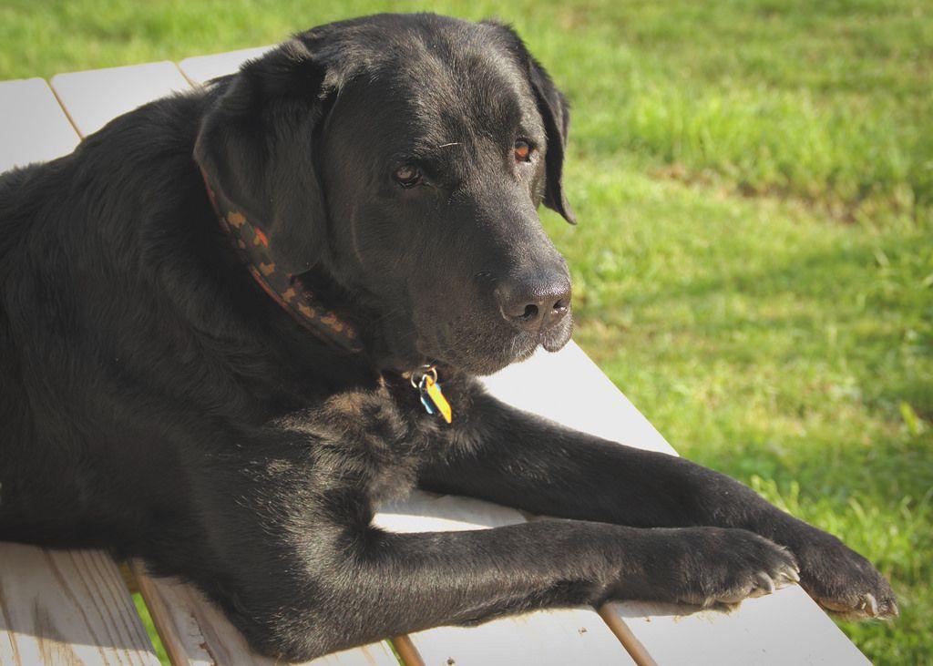 Tater Dogs Labrador Retriever Black Labs