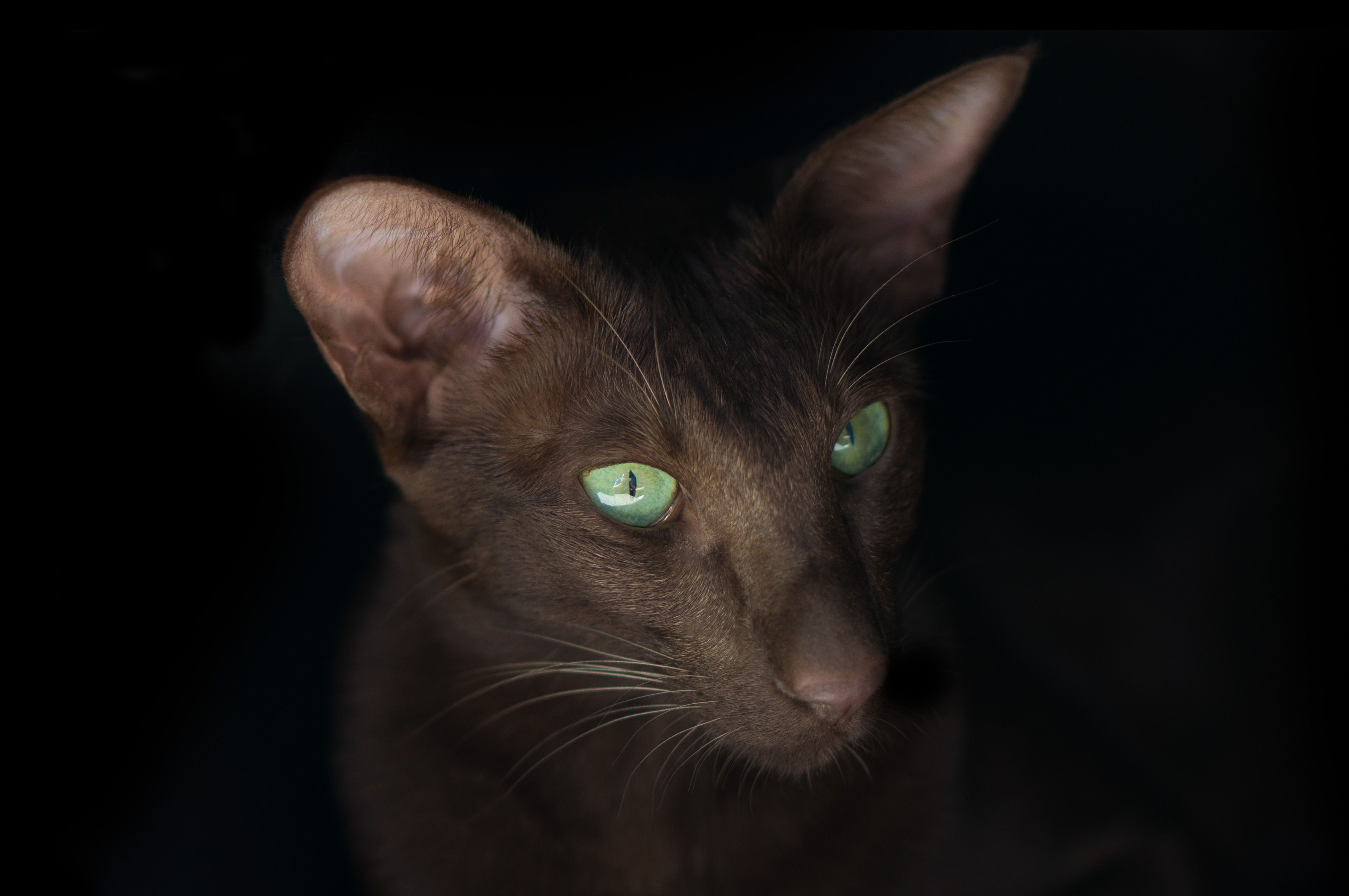 Fei Oriental Shorthair Cat Breed Cat Pages CBWP 1