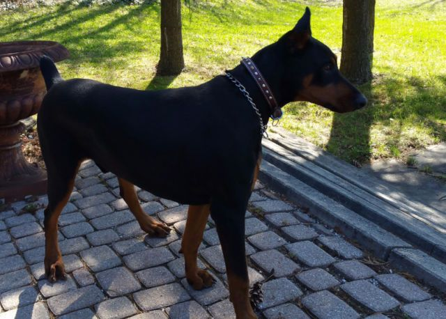 Young Male Doberman Doberman For Sale Doberman