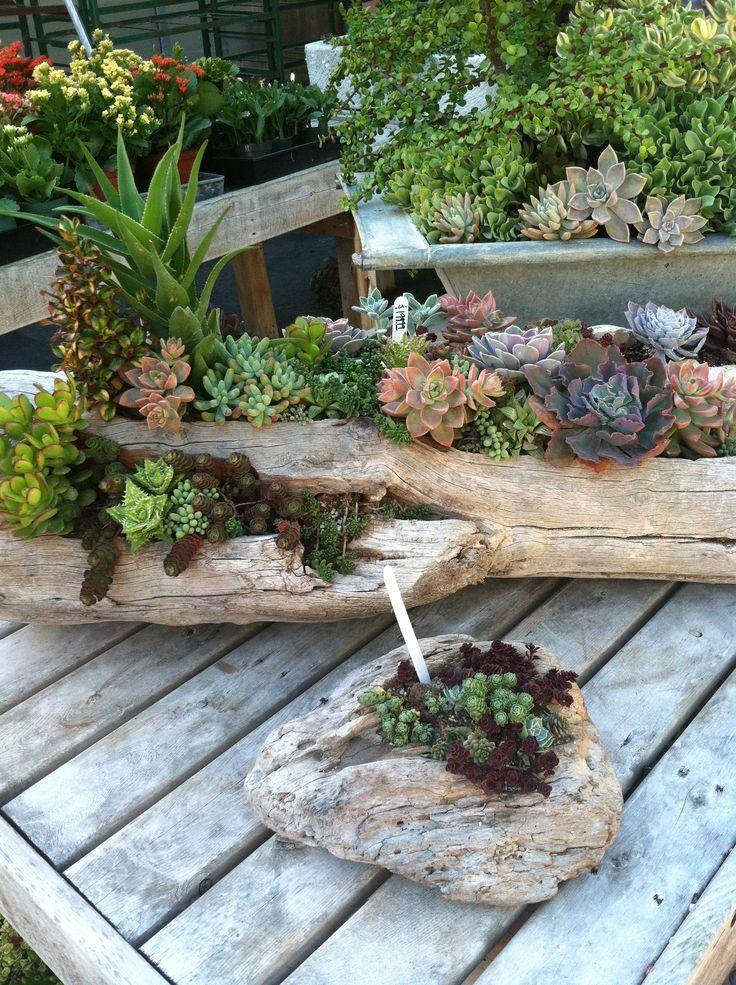 succulent in wood log Succulents in