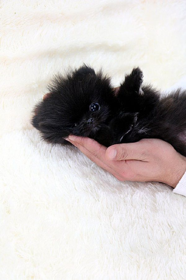 Black Teacup Pomeranian Puppy Zoe Fans Blog Black Pomeranian Puppies Pomeranian Puppy Teacup Pomeranian Puppy