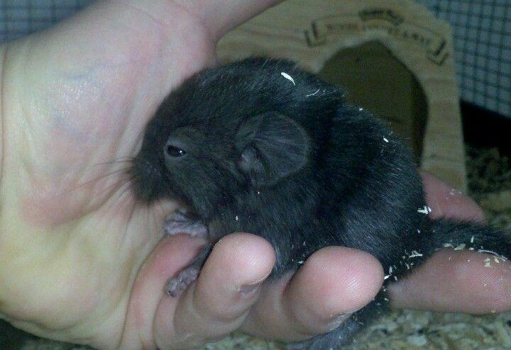 New Chinchilla Http Ift Tt 2ekfhu4 Chinchilla Animals Cute Animals
