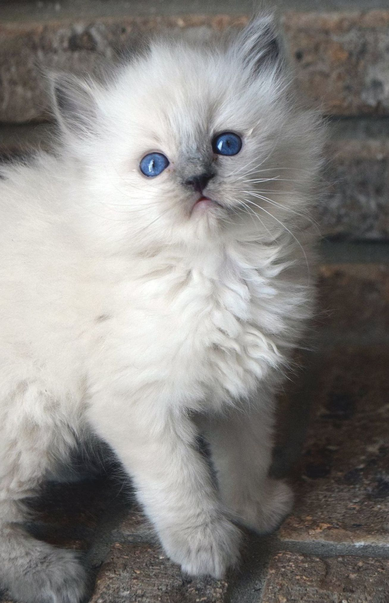 Pin Ston Pinaka Ragdoll Cats