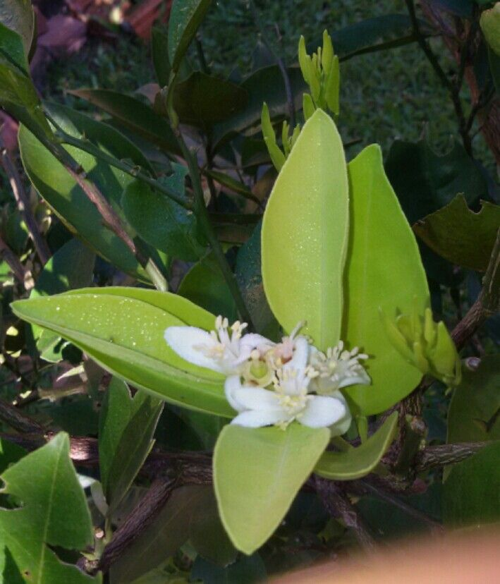 Flor de laranjeira.