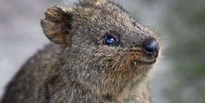 Man Charged For Kicking Quokka On Rottnest Island Coast FM - 15 photos that prove quokkas are the happiest animals in the world