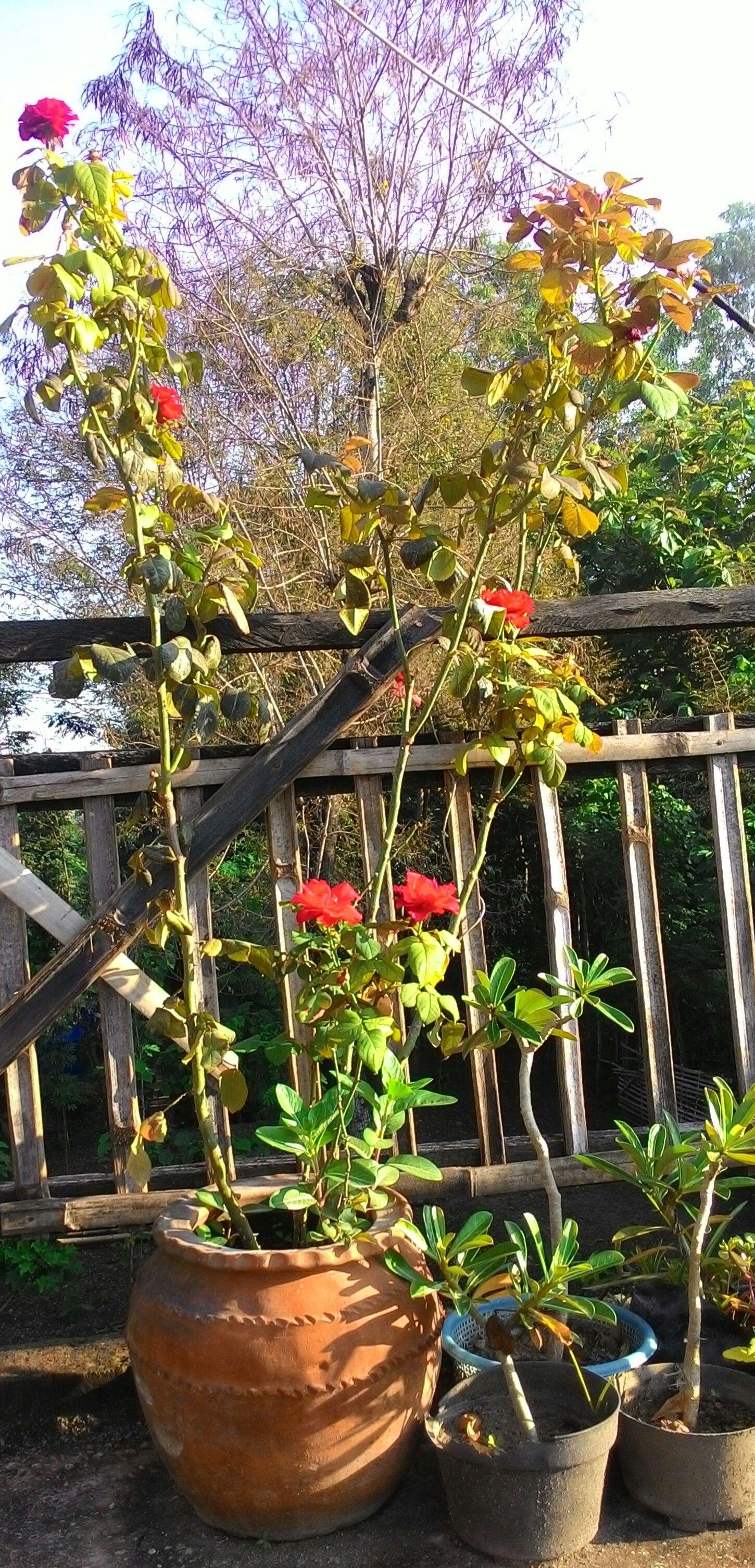 Bunga Mawar Dalam Pot Bunga Mawar Kebun