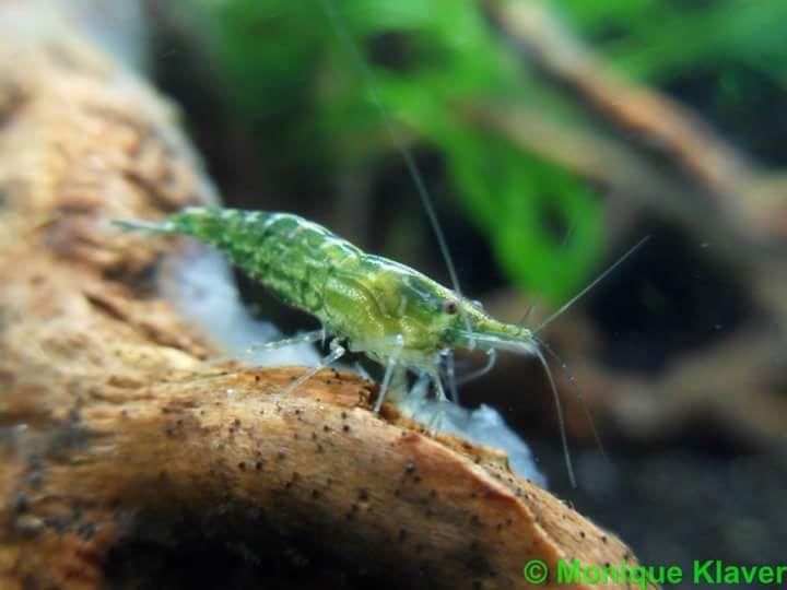 Rebecca Neocaridina Green Jade Shrimp Fish Plants Shrimp Tank Freshwater Aquarium Shrimp