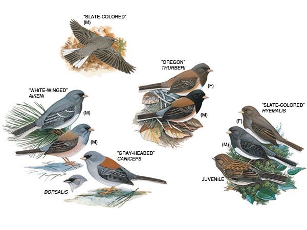 122014 Xmas Bird Count ~ dark-eyed junco ~ http://animals. - Dark-Eyed Junco .. Arrivals Birds, Backyard Birds, Beautiful Birds