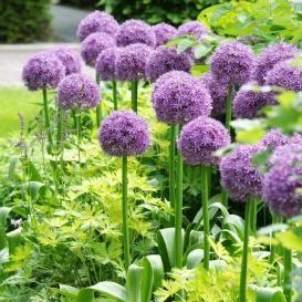 Giant Allium Gladiator Buy In Bulk At Edenbrothers Com Allium Flowers Garden Bulbs Allium Giganteum